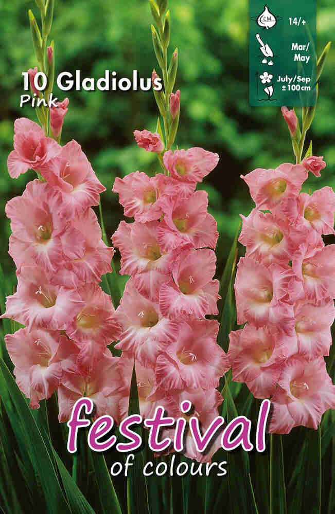 Gladiolus Pink, 7 stk