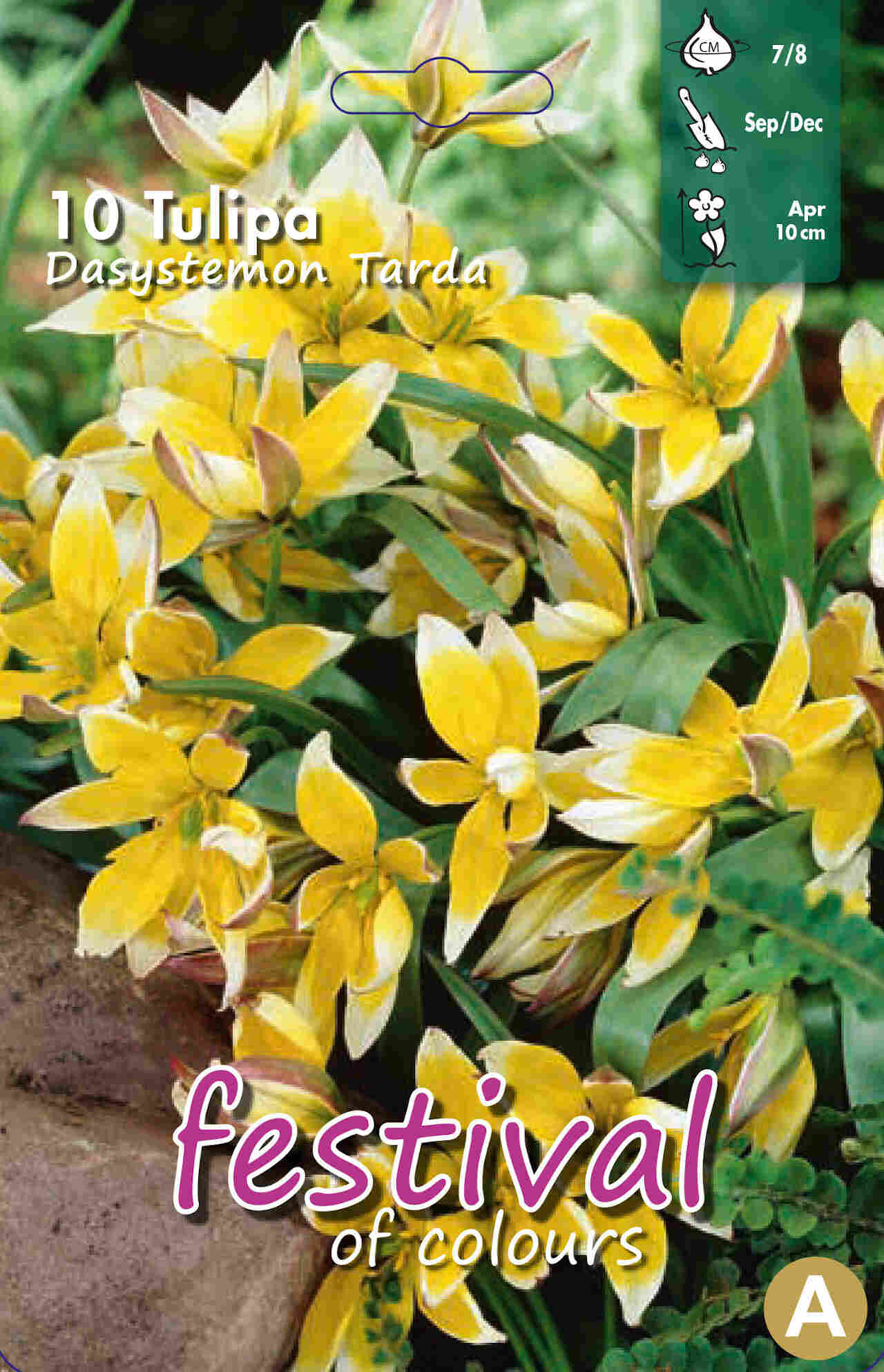 Tulipanløg - Tulipa Tarda 8/+