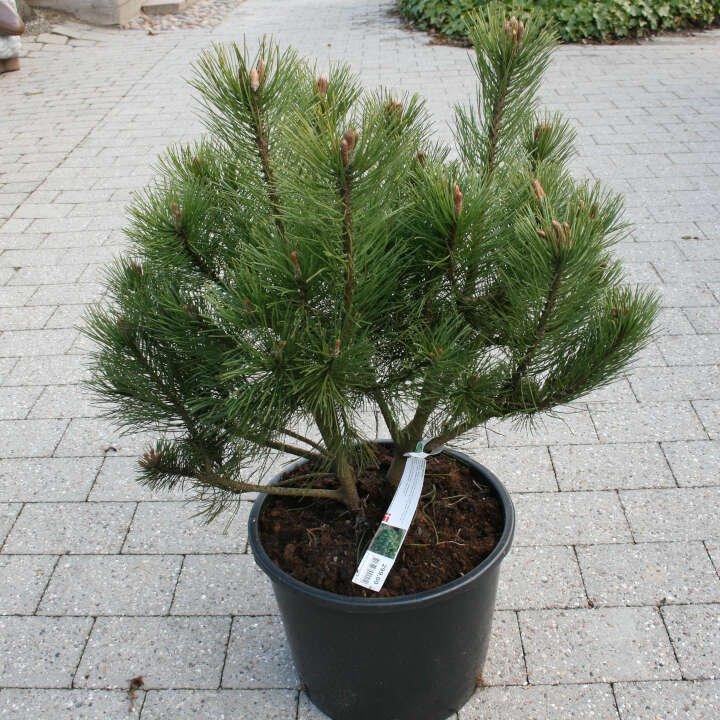 Bjergfyr - Pinus mugo - 50cm