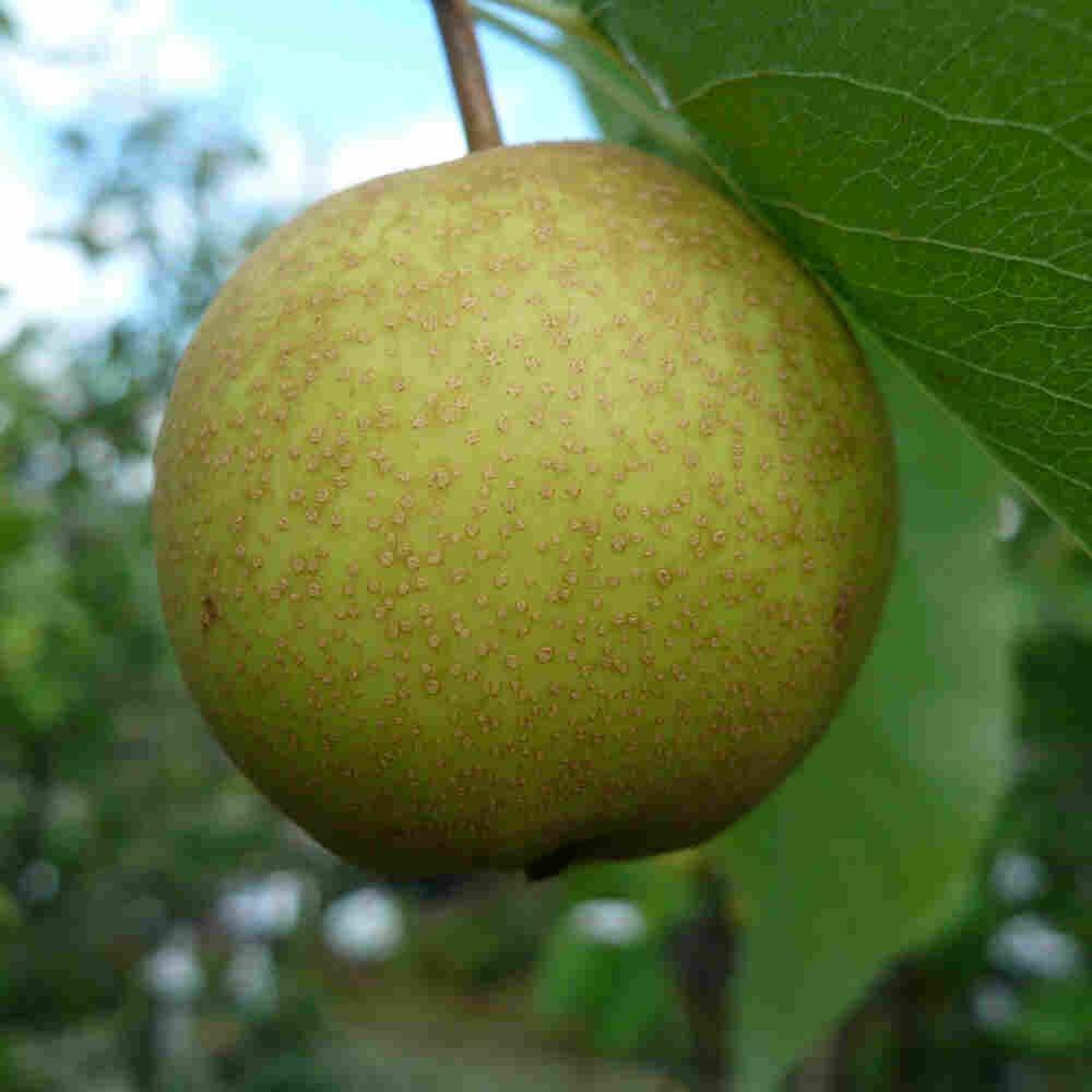 Pæretræ - Pyrus communis 'Nashi' (Nykata)