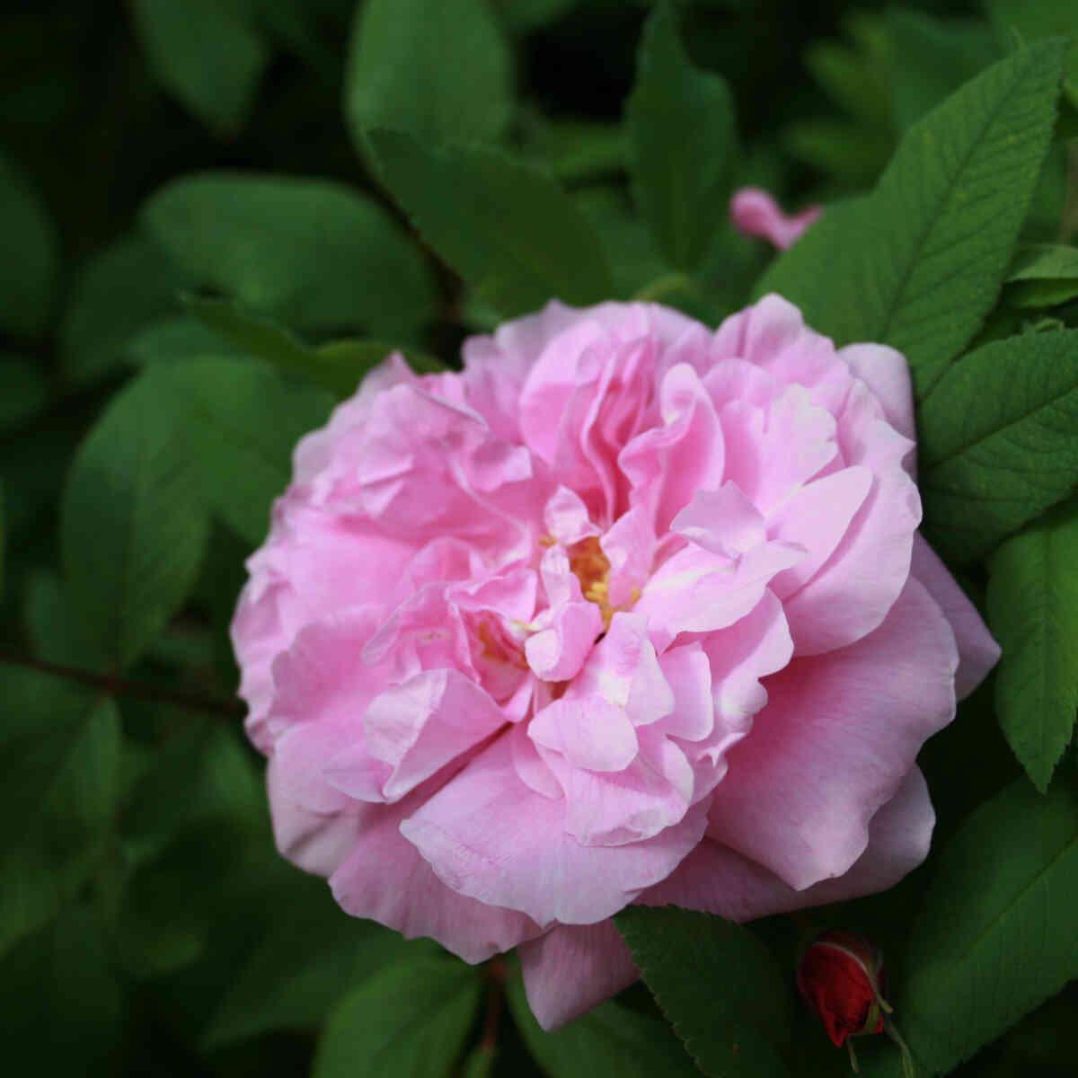 Hybenrose rugosa 'Thérèse Bugnet'