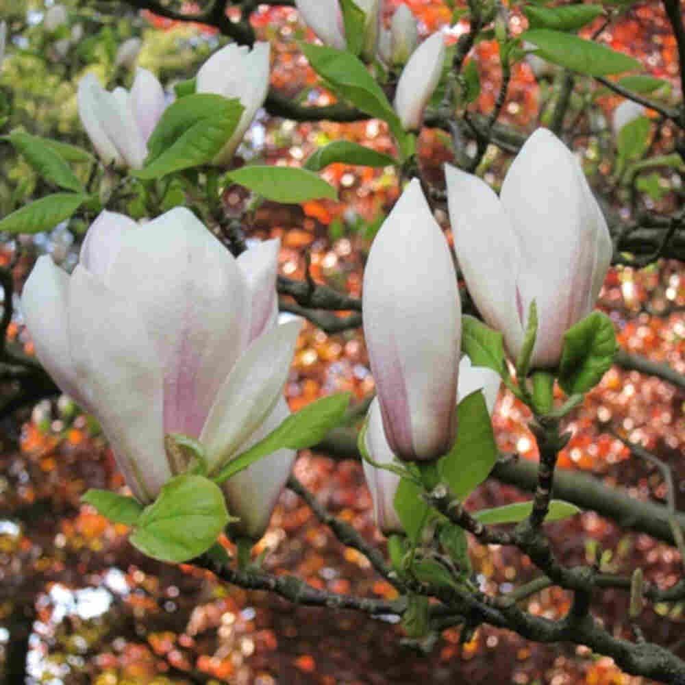 Magnolie - Magnolia x soulangeana
