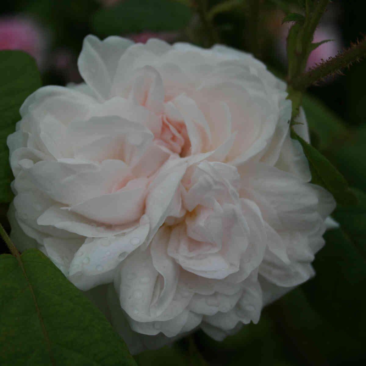 Rose 'Shailer's White Moss'