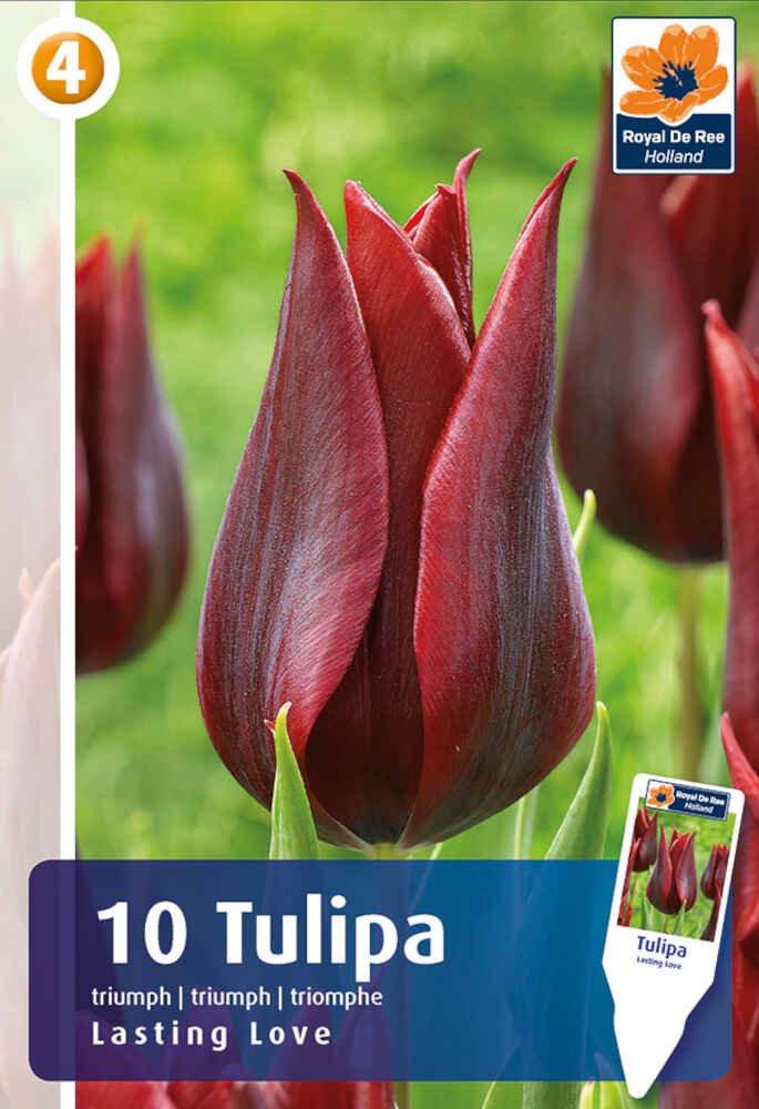 Tulipanløg - Tulipa Lasting Love 11/12