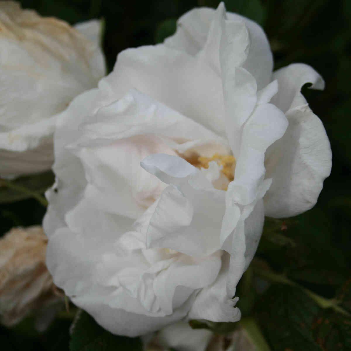 Hybenrose rugosa 'Schnee Eule'