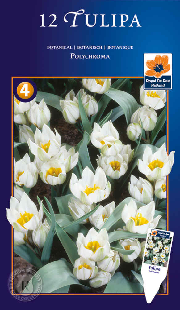Tulipanløg - Tulipa polychroma 6/+