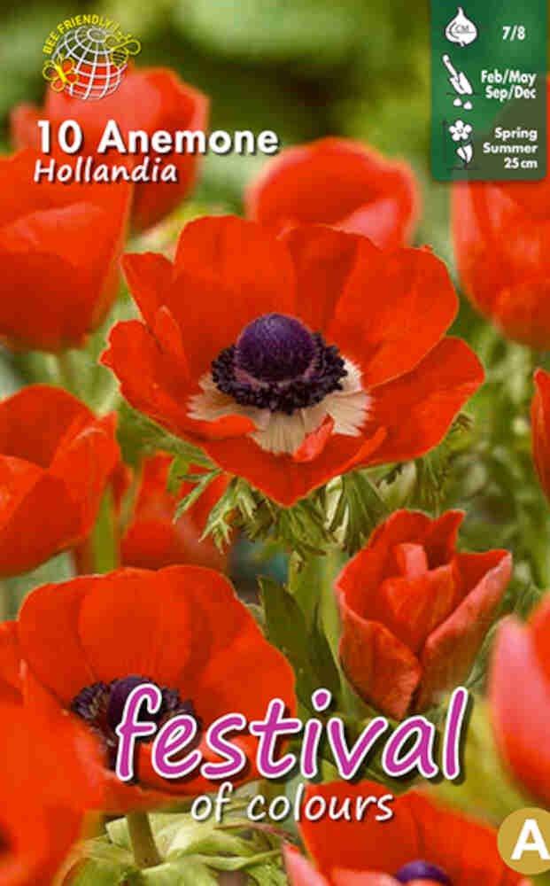 Anemone 'Hollandia' 7/8
