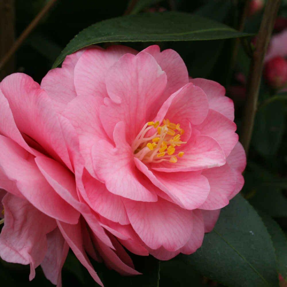 Kamelia - Camellia cuspidata 'Spring Festival'