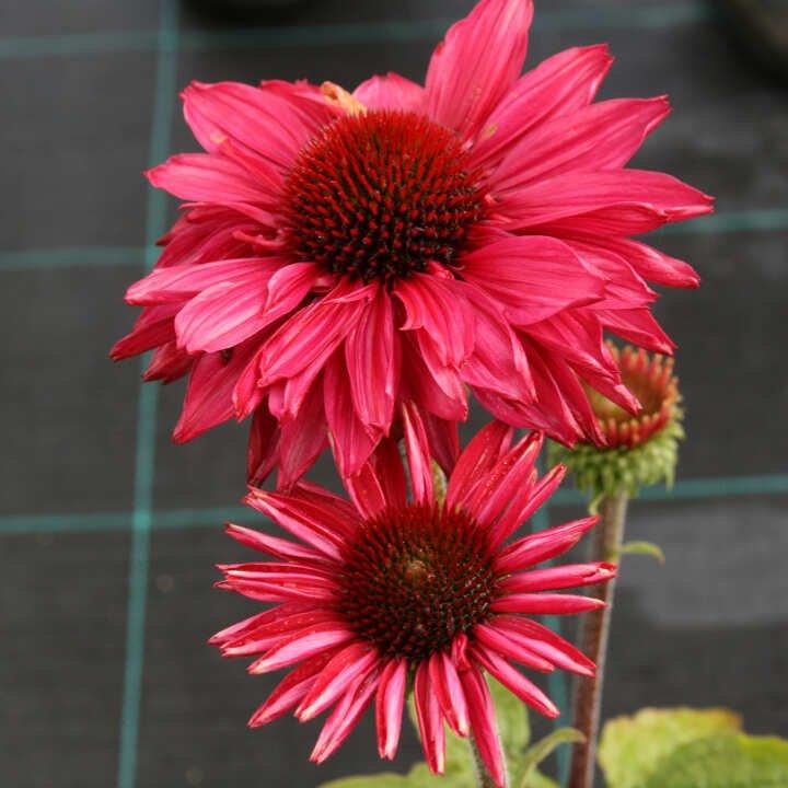 Solhat - Echinacea SunSeekers 'Magenta'®