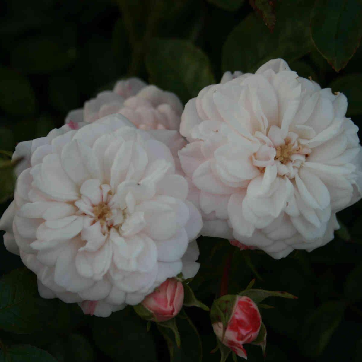 Rose 'Alina'