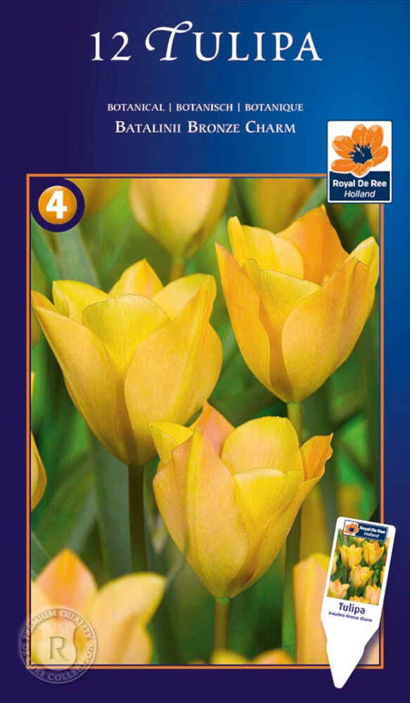 Tulipanløg - Tulipa batalinii Bronze Charm 6/7