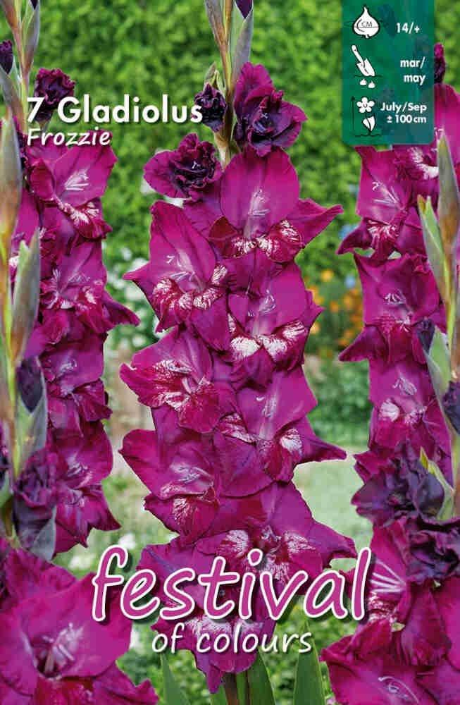 Gladiolus Frozzie, large flowering, 7 stk