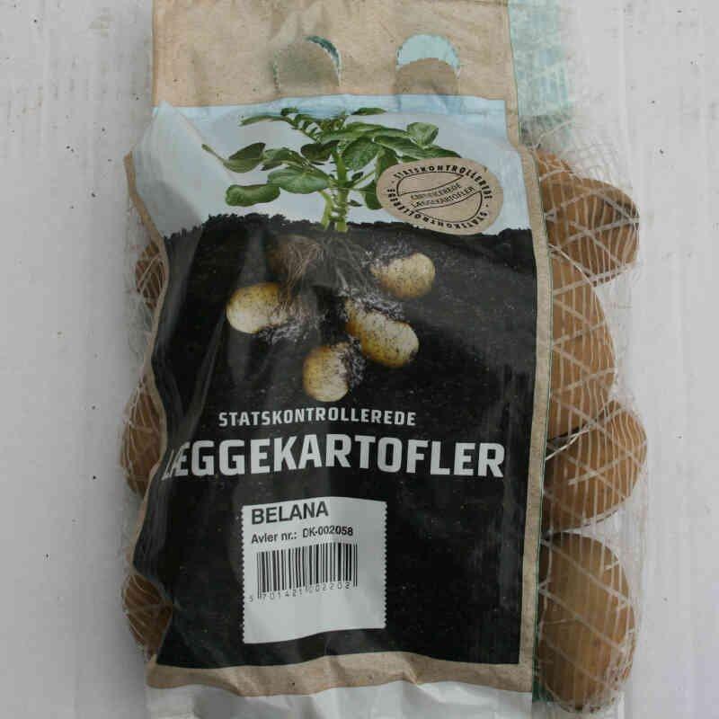 Belana læggekartofler er faste i kødet og sene