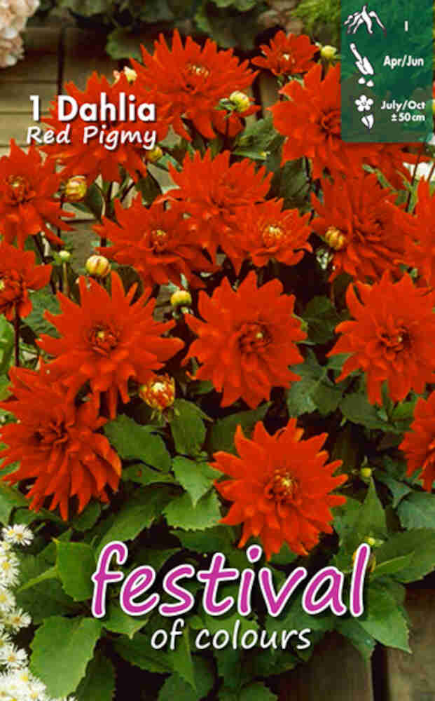 Dahlia Red Pigmy (Semi)Cactus