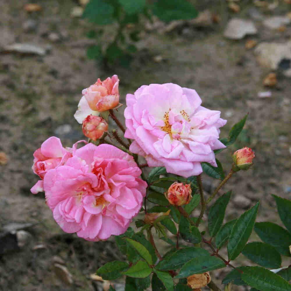 Rose moschata 'Ghislaine Feuerwerk'