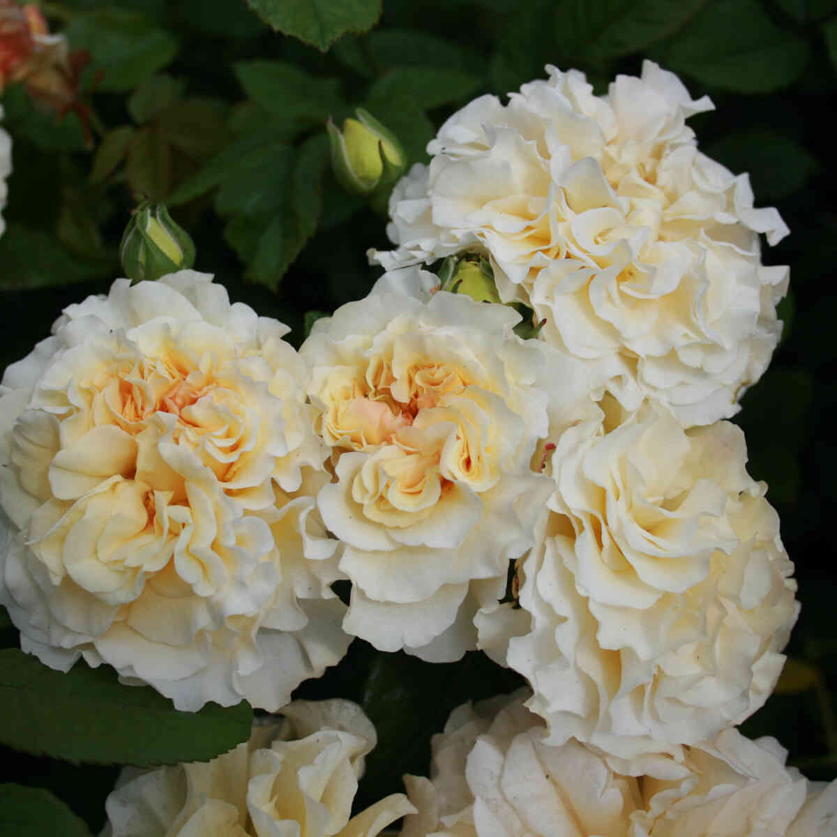 Rose 'Comtessa'