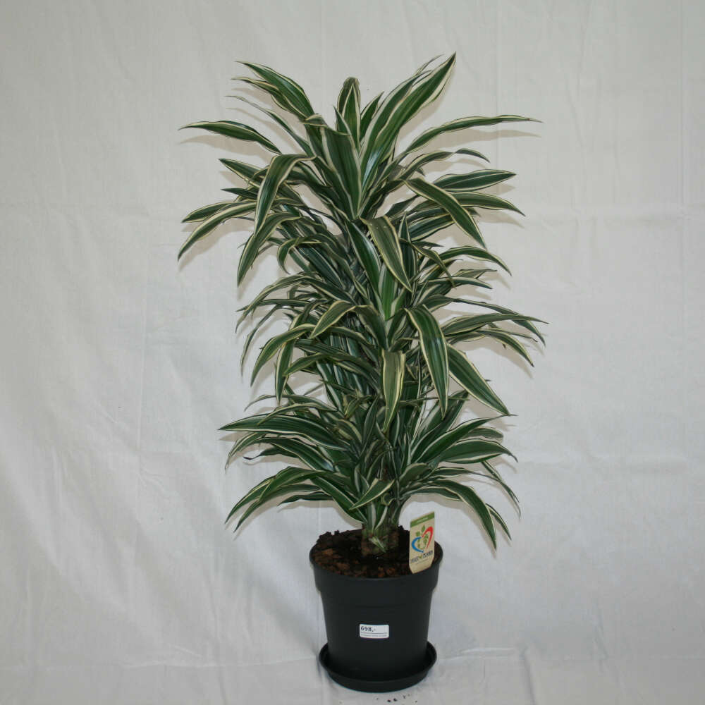 Dracæna - Dracaena 'White Stripes' - 100cm