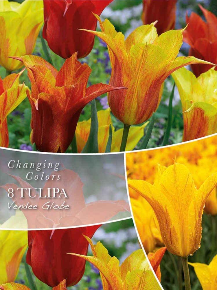 Tulipanløg - Tulipa Vendee Globe 12/+
