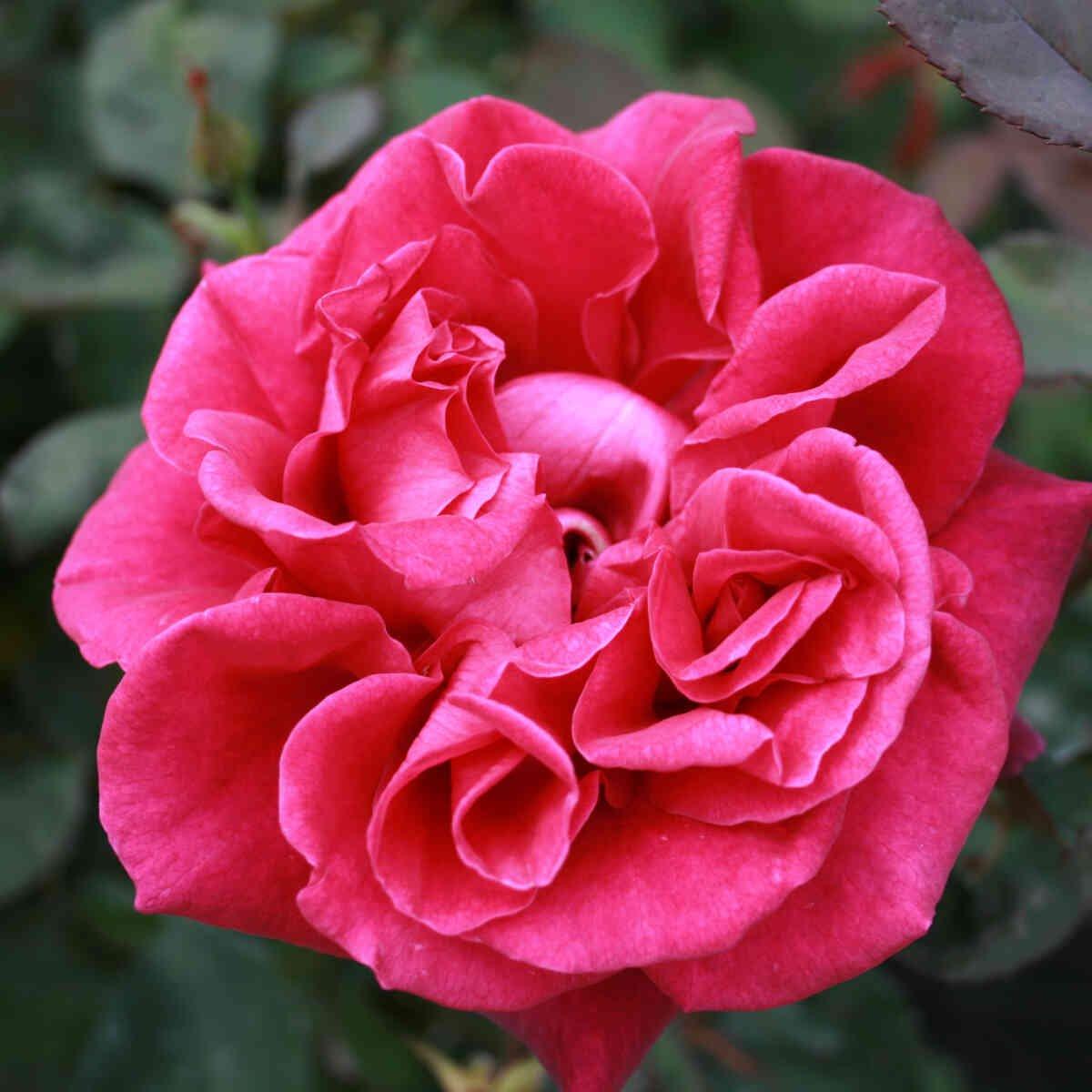 Mørk violet blomst i Blackberry Nip rose