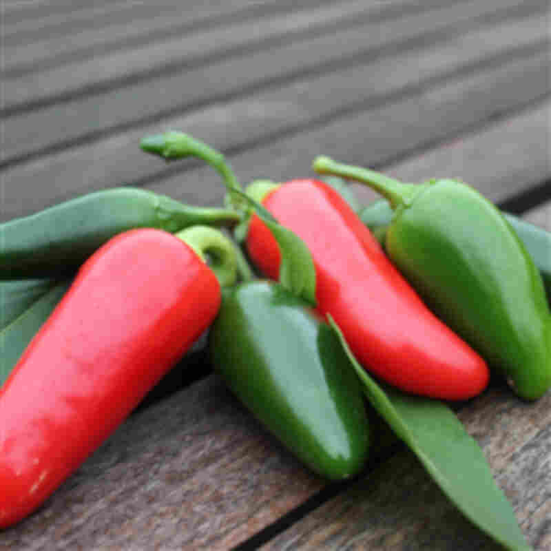 Chiliplante - chili  'Jalapeno'