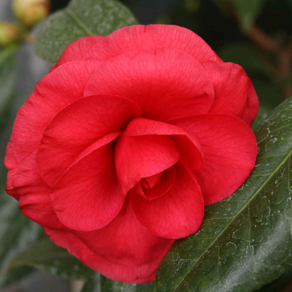 Kamelia - Camellia japonica 'C.M. Howey'