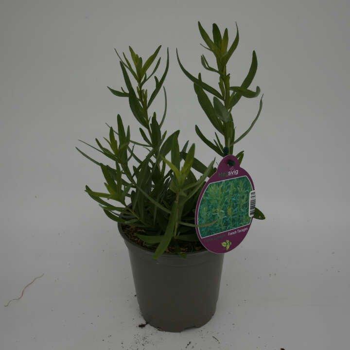 Fransk estragon - Artemesia dracunculus - 10cm potte