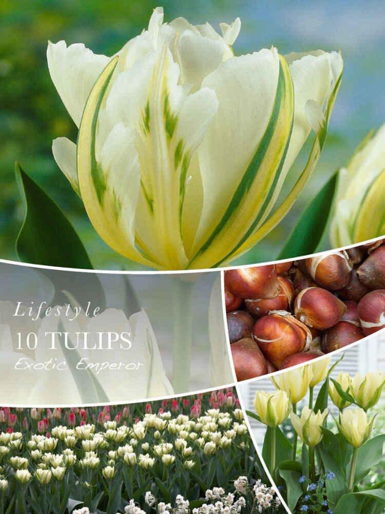 Tulipanløg - Tulipa Exotic Emperor 12/+