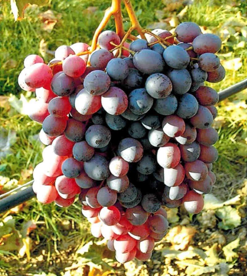 Vindrueplante - Vitis vinifera 'Anja'