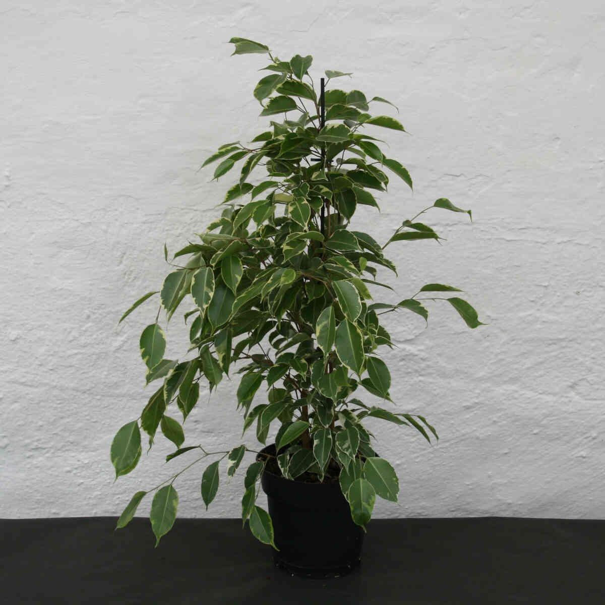 Birkefigen - Ficus benjamina 'Golden King'