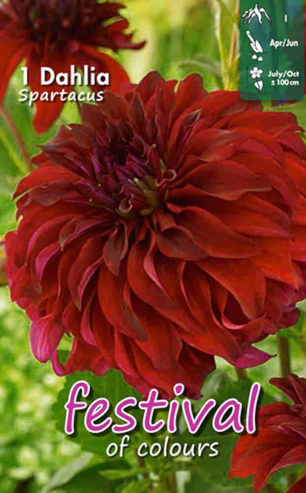 Dahlia Spartacus Decorative