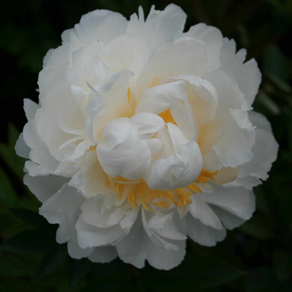 Silkepæon - Paeonia lactiflora 'Bowl of Cream'