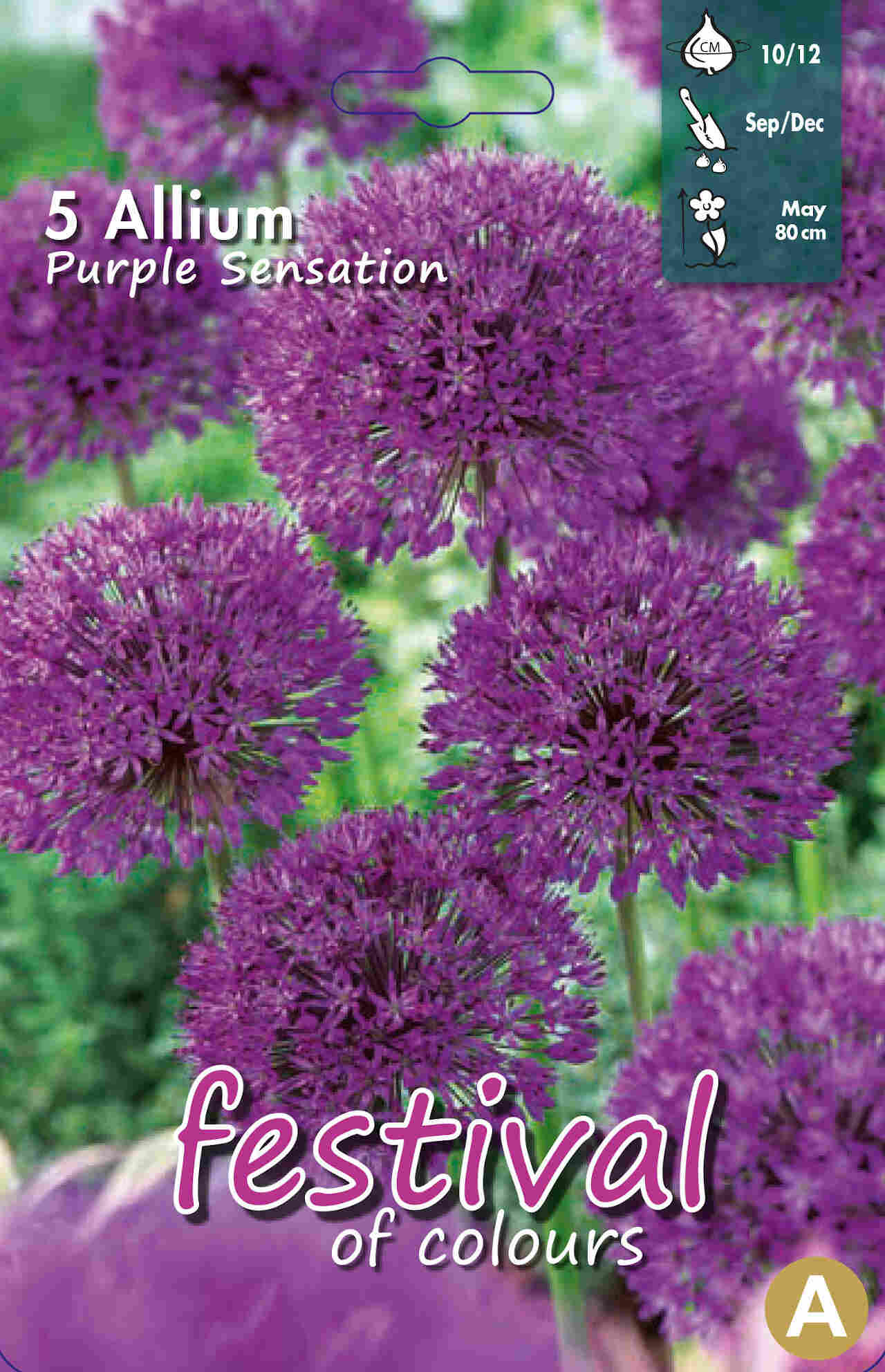 Prydløg - Allium Purple Sensation 10/12