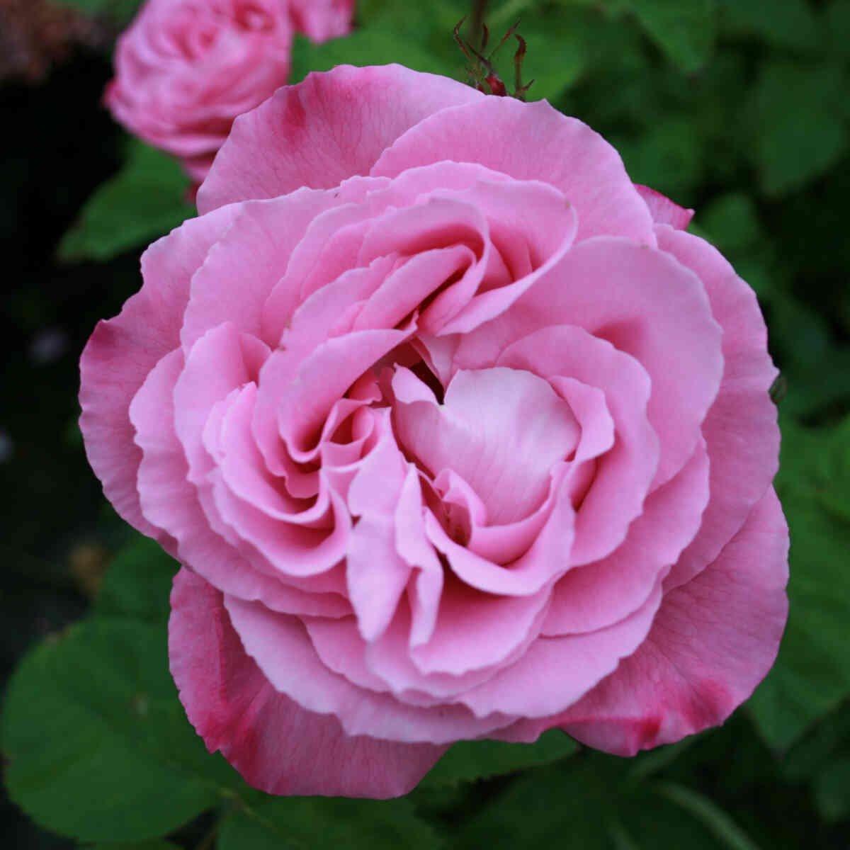 Rose 'Mrs John Laing'