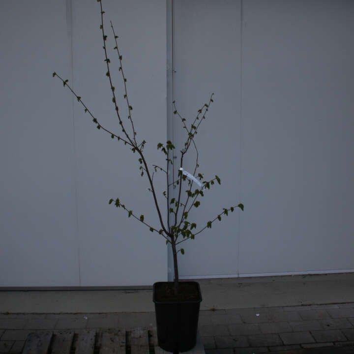 Hasselbusk - Coryllus avellana 'Corabel'