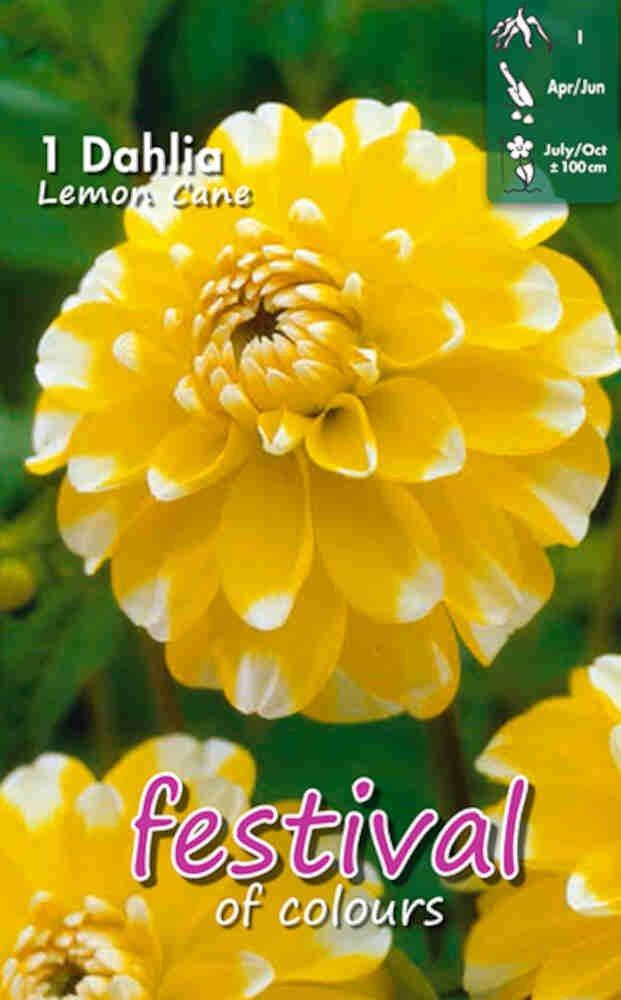 Dahlia Lemon Cane Decorative