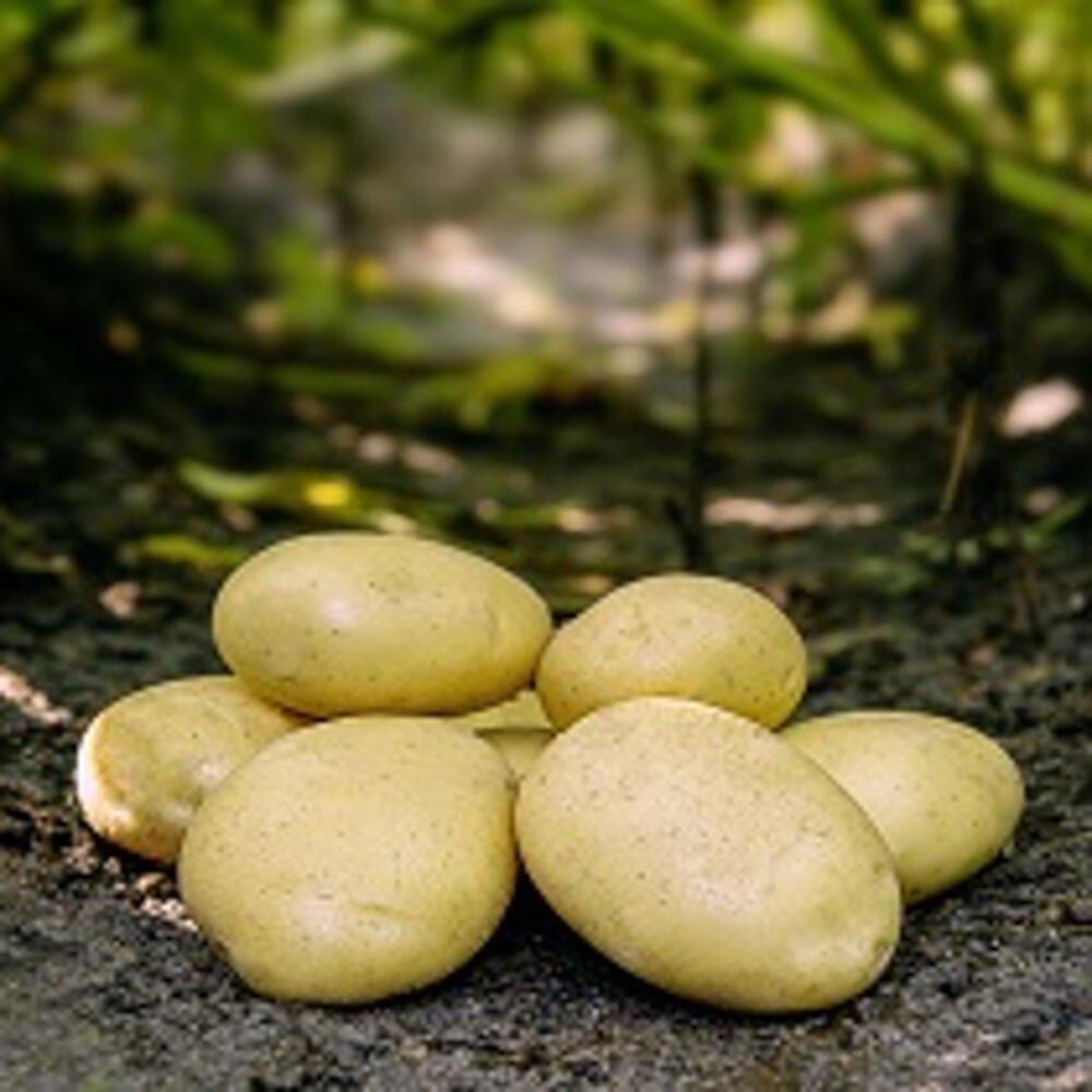 Læggekartofler - Folva