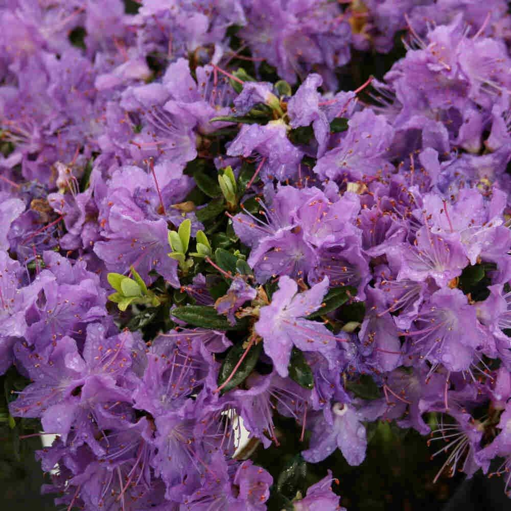 Dværgrhododendron - Rhododendron impeditum 'Blumaria'