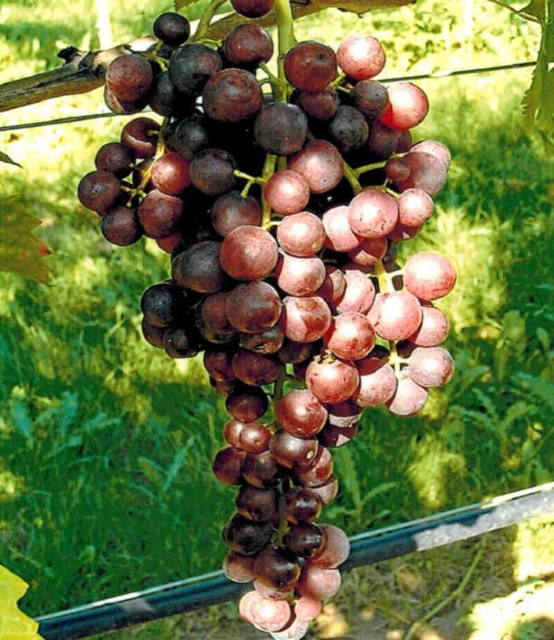 Store klase Heike røde druer