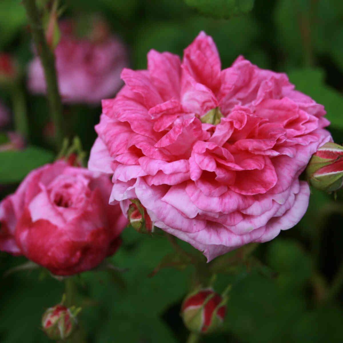 Centifolia rose 'Petite de Hollande'