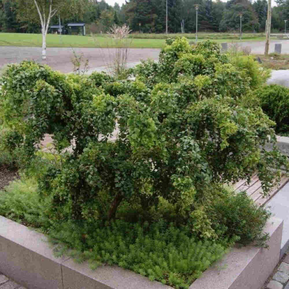 Troldrobinie - Robinia pseudoacacia 'Twisty Baby'