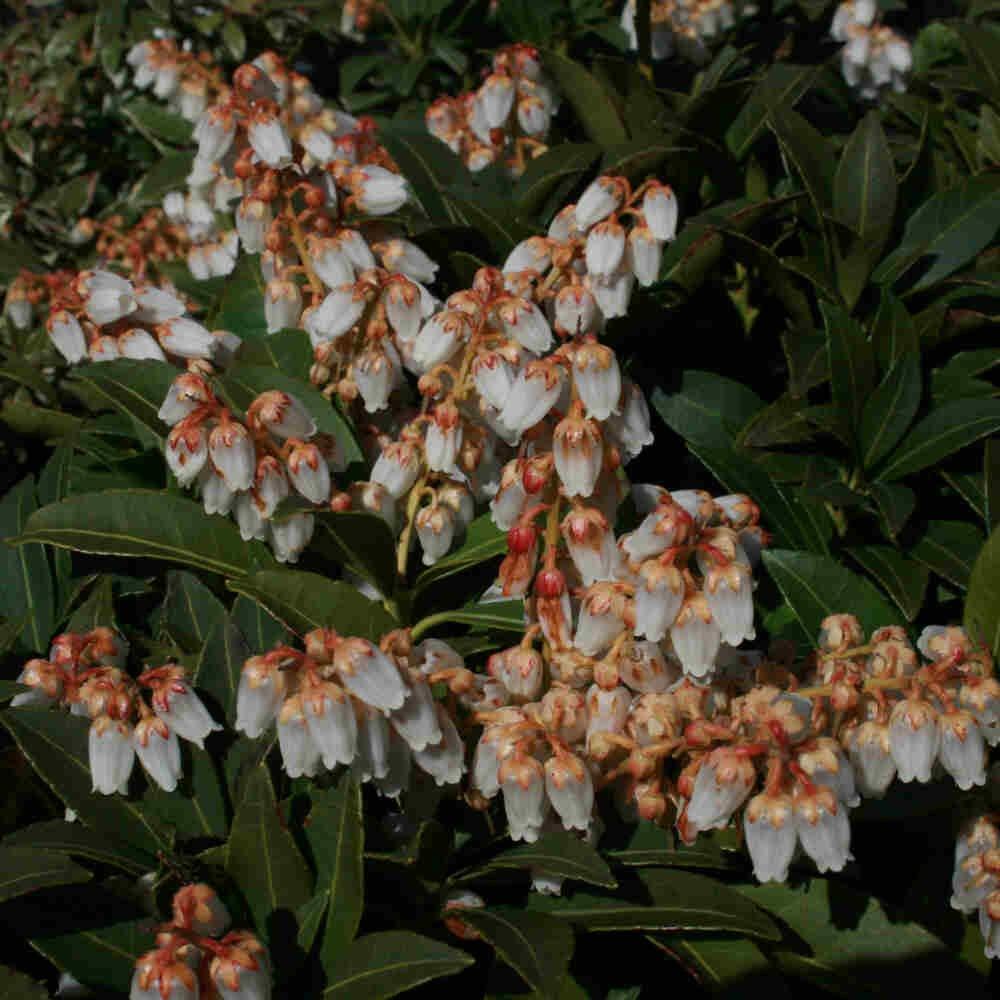 Pieris japonica 'Cupido'