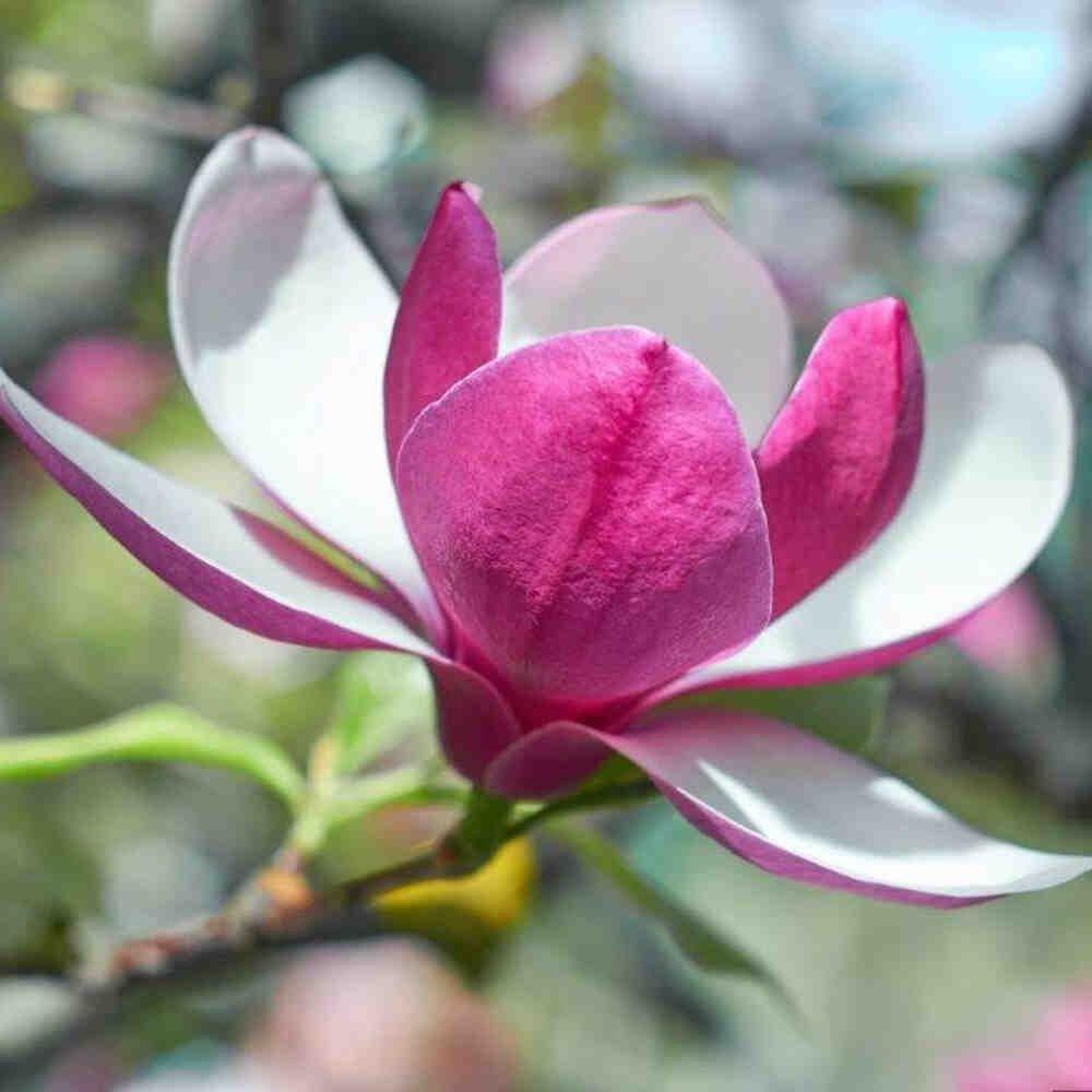 Magnolie - Magnolia 'Purpurea'