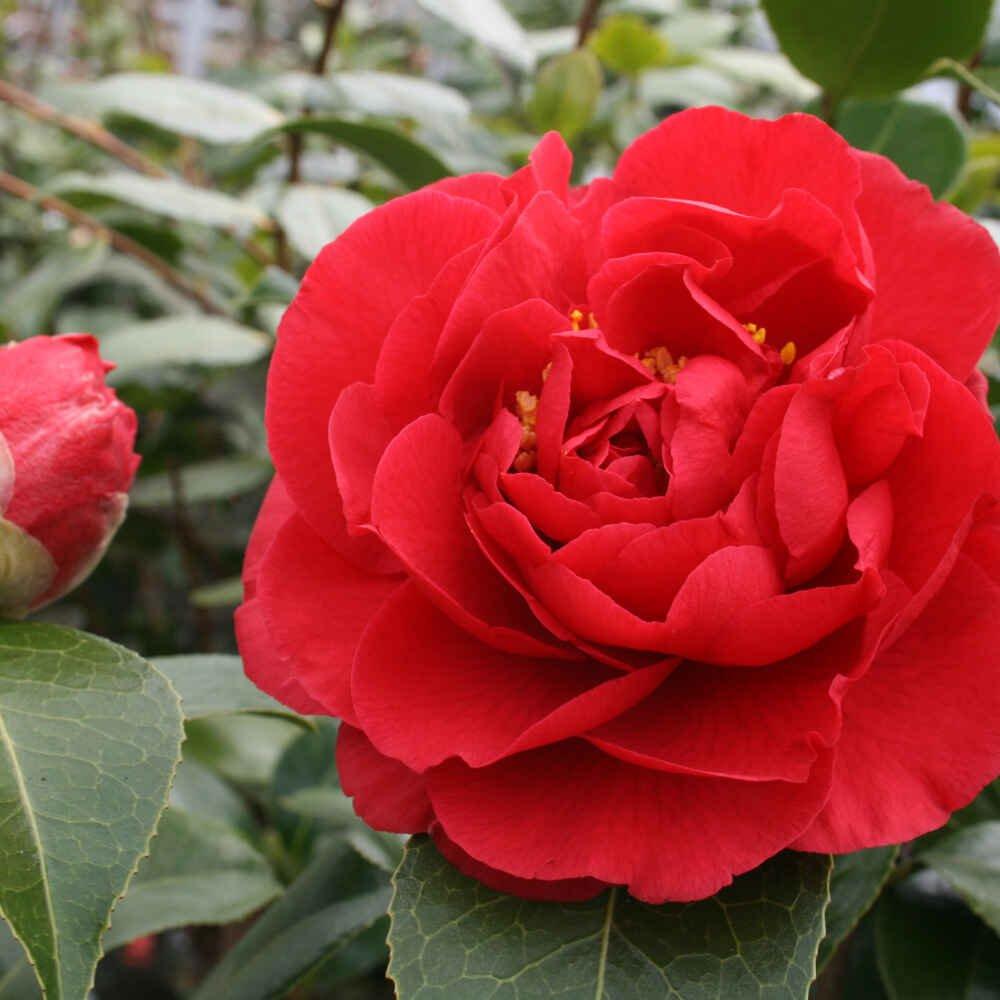 Kamelia - Camellia japonica 'Kramers Supreme'