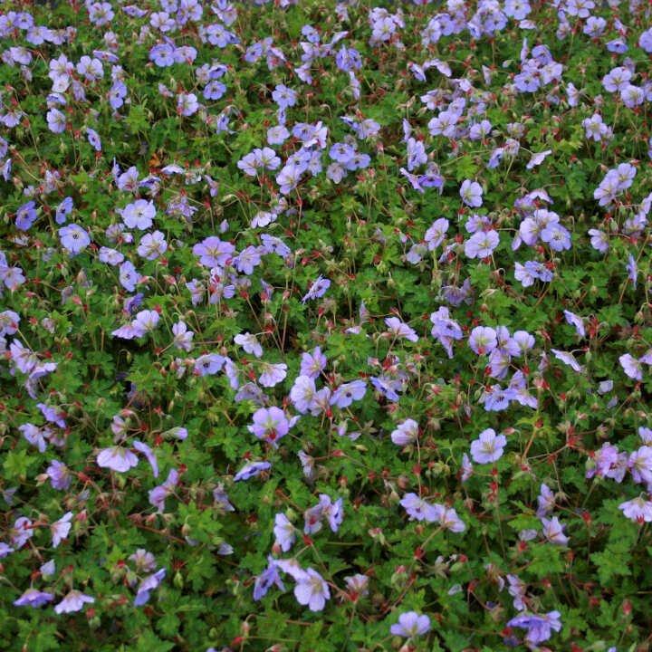 Storkenæb - Geranium hybrid 'Azure Rush'®