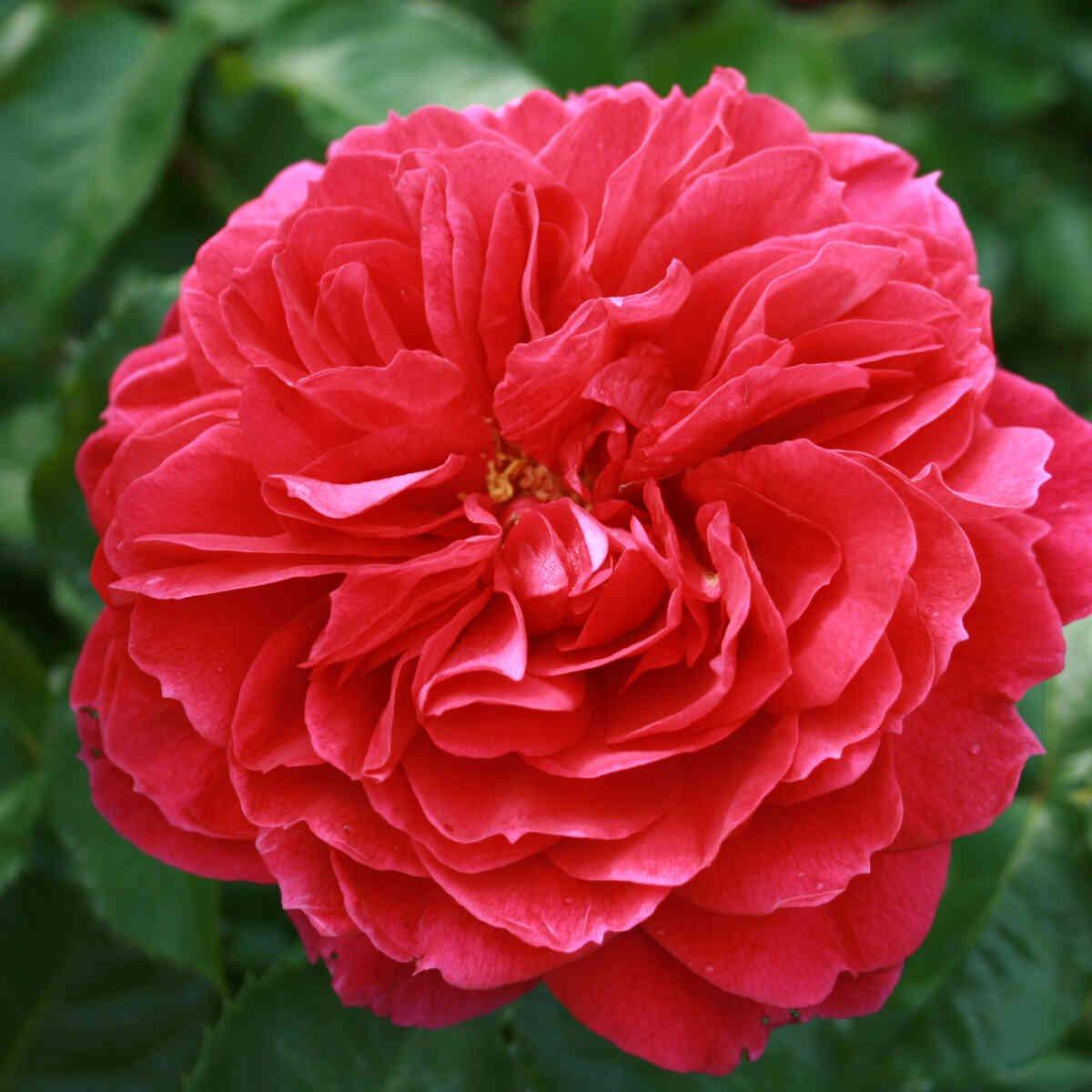 Rose 'Ryslinge rosen'