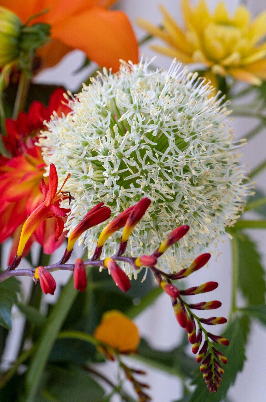Prydløg - Allium White Giant - 24+ - 3 stk.