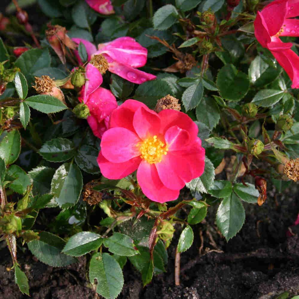 Bunddække Rose 'Marsh'