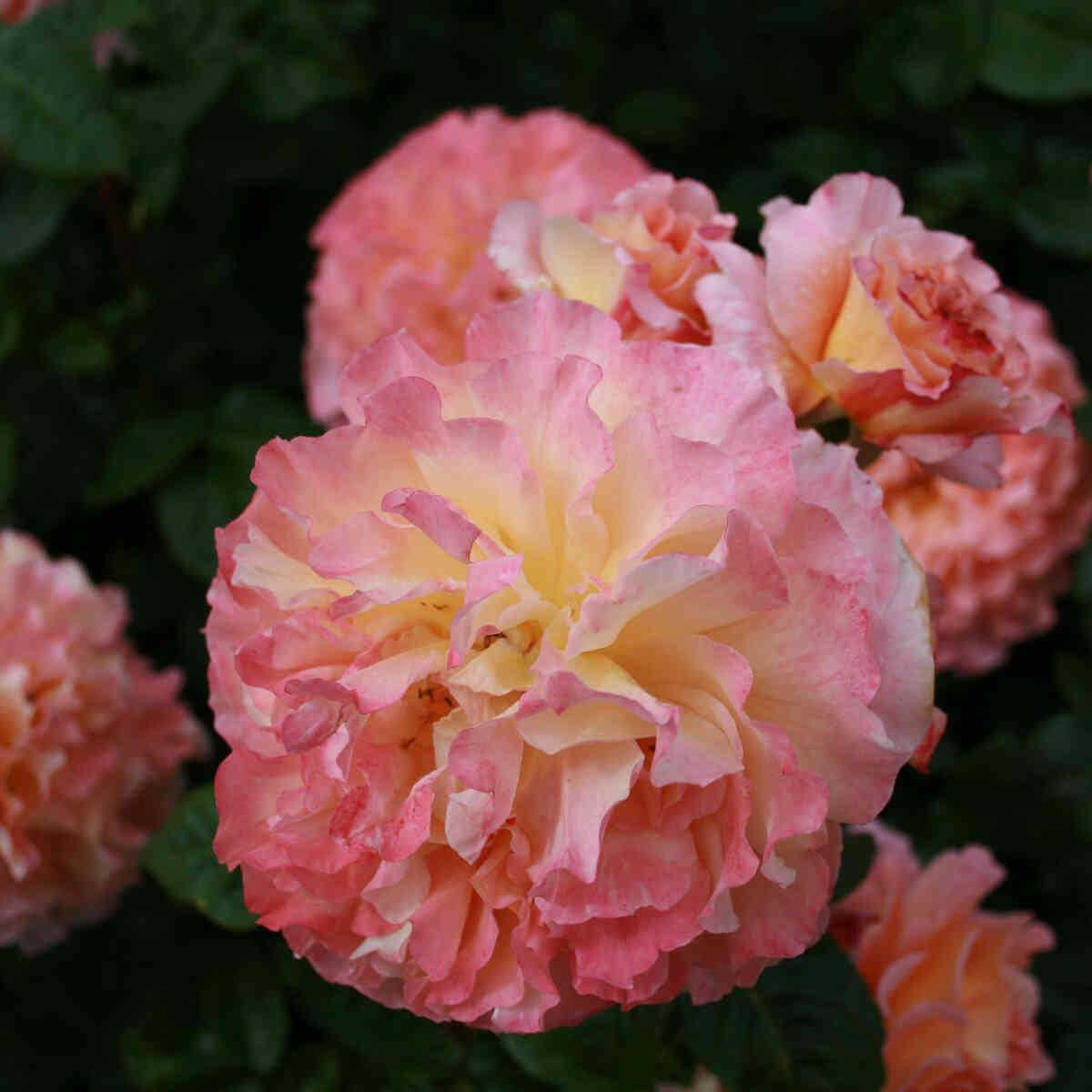 Rose 'Augusta Louise'