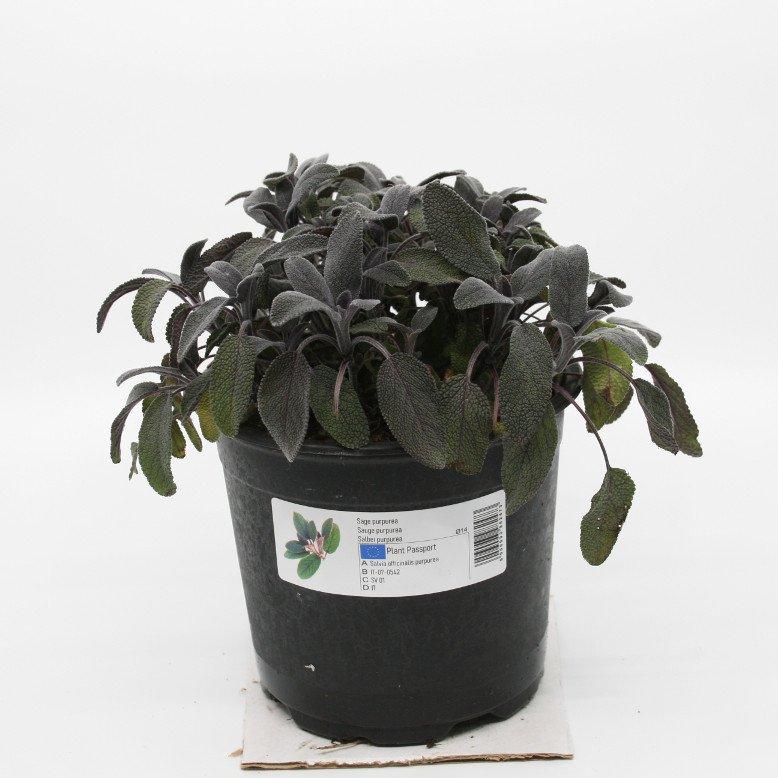 Salvie, rødbladet - Salvia officinalis 'Purpurea' - 14cm potte