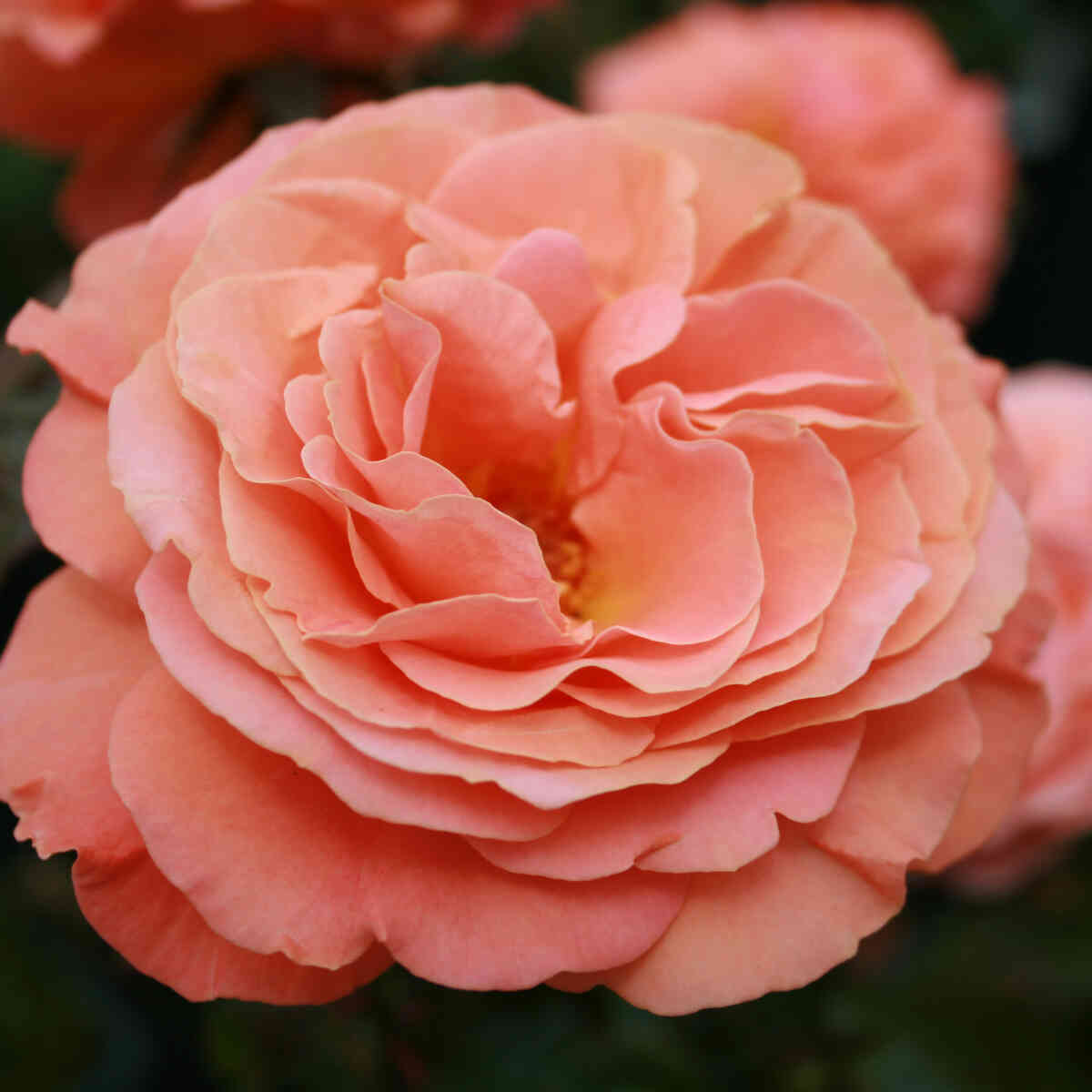 Rose 'Maisha'